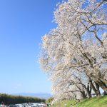 ツーリングの途中の河原でみた桜
