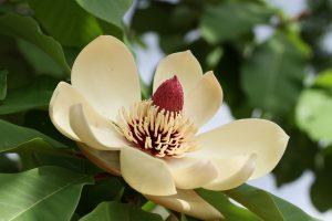 相模原公園の奇妙で綺麗な朴の木の花(ホウノキの花)