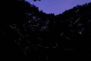 浄徳院菖蒲園のホタル