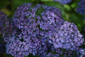 長谷寺の紫陽花(フェアリーアイ)