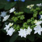長谷寺の紫陽花(墨田の花火)