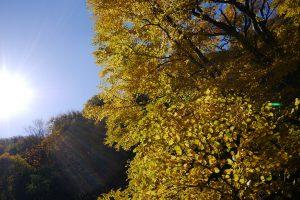 黄色い紅葉も良いですね