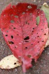 紅葉した桜の落葉