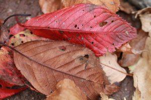 紅葉した桜の葉の落ち葉