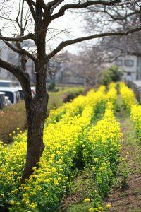 三川公園の菜の花