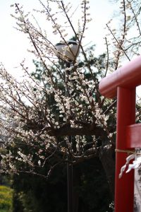 三川公園の鳥居と梅の花