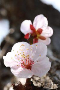 三川公園の梅をマクロレンズでぱしゃり