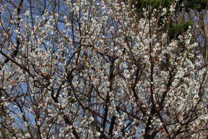 三川公園の梅が満開です