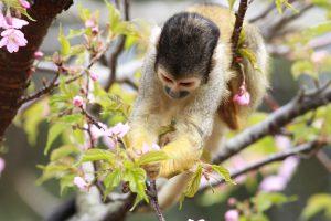 伊豆シャボテン公園の桜を食べるリスザル