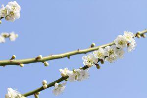 空に映える白い梅