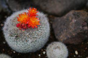 伊豆シャボテン公園のサボテンの花