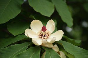 相模原公園の朴の木の花(ホウノキの花)
