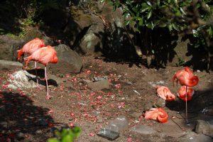 伊豆シャボテン公園のベニイロフラミンゴ