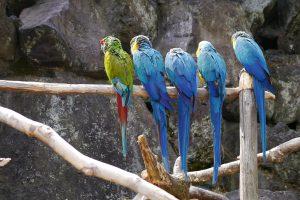伊豆シャボテン公園のルリコンゴウインコ