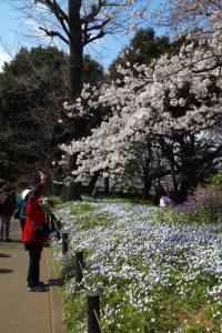 桜とハナニラ(イフェイオン、ベツレヘムの星)の群生(東京)