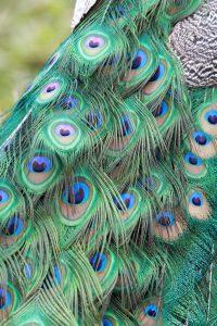 伊豆シャボテン公園の孔雀の羽根