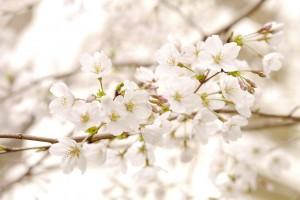 自宅のまわりの桜