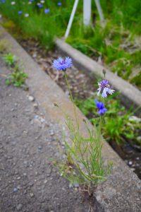 深城ダムにいく途中の矢車草の花畑
