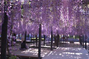 熊野の長藤の藤棚