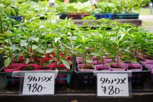 道の駅「下賀茂温泉 湯の花」で売っているタカノツメの苗