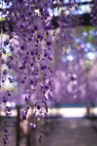 熊野の長藤の花房