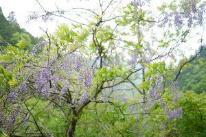 林道脇に時々咲いている藤の花が綺麗です