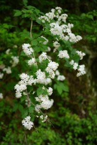道路脇の白い花