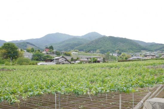 琴川ダムに行く途中に広がるぶどう畑