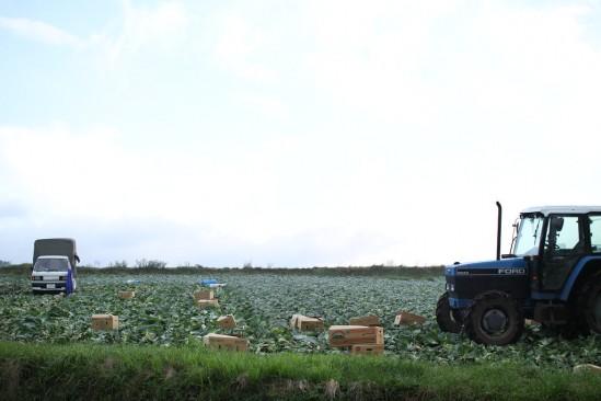 朝早くからキャベツ畑は忙しそうです