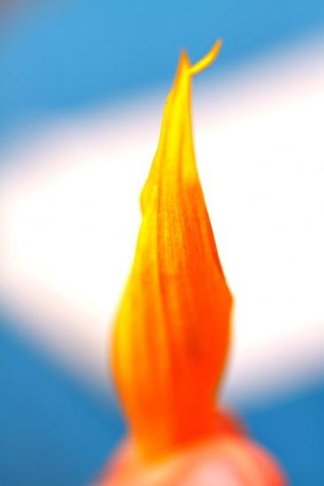 ヒマワリの花びら