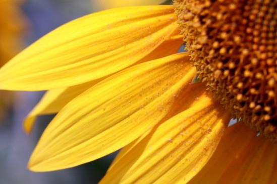 ヒマワリの花びらをアップ