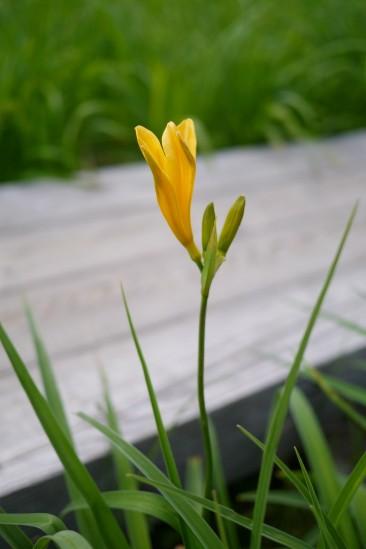尾瀬の咲きかけのニッコウキスゲ
