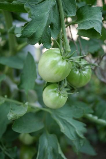実家の青いトマト