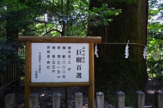 高千穂 宮崎の巨樹百選、樹齢800年
