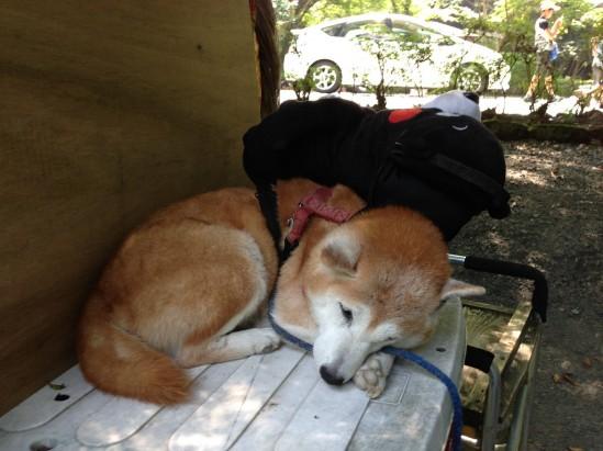 高千穂峡のくまモン柴犬