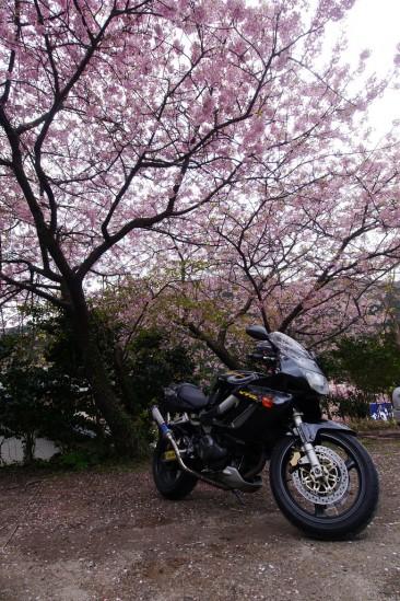 河津七滝・河津桜 (1)