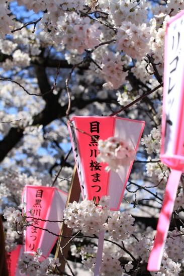 目黒川の桜 (11)