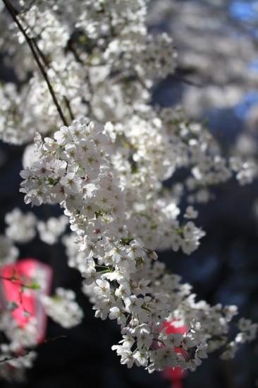 目黒川の桜 (13)
