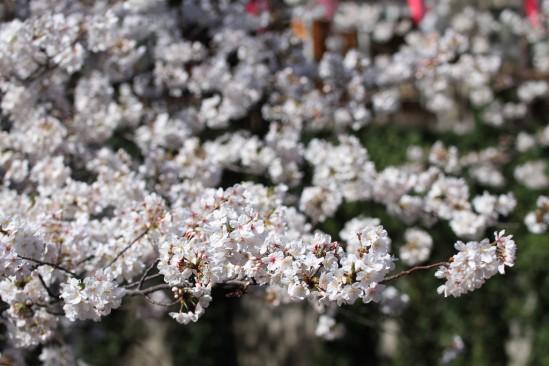 目黒川の桜 (7)