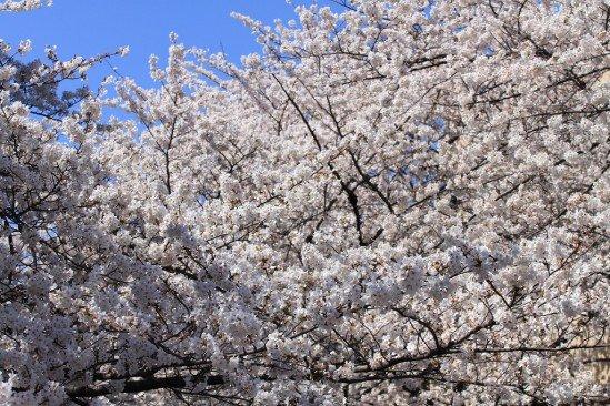 目黒川の桜 (8)