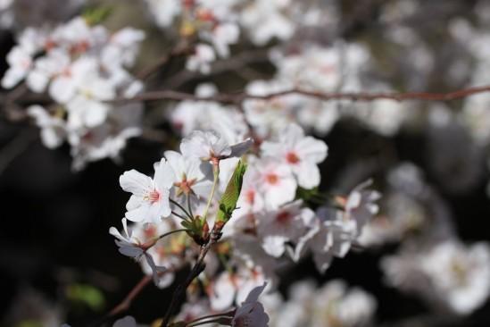 目黒川の桜 (10)