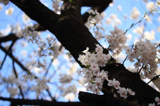目黒川の桜 (12)