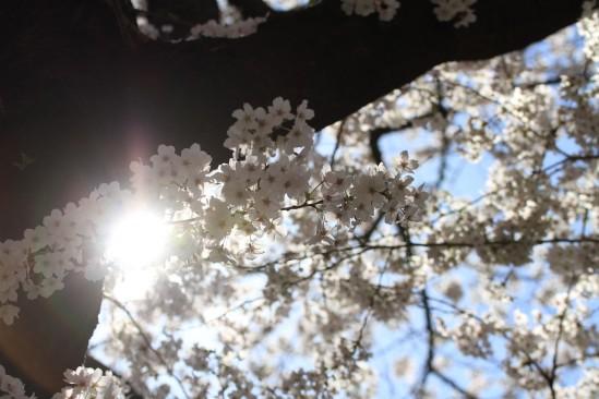 目黒川の桜 (14)
