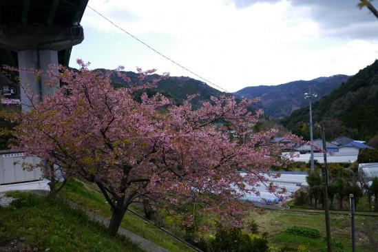 河津七滝・河津桜 (11)