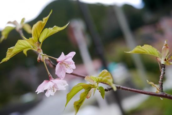 河津七滝・河津桜 (12)