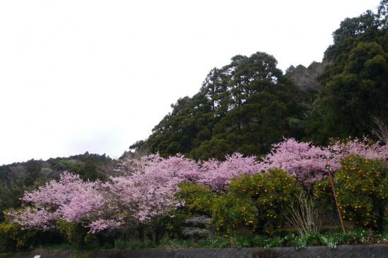 河津七滝・河津桜 (16)