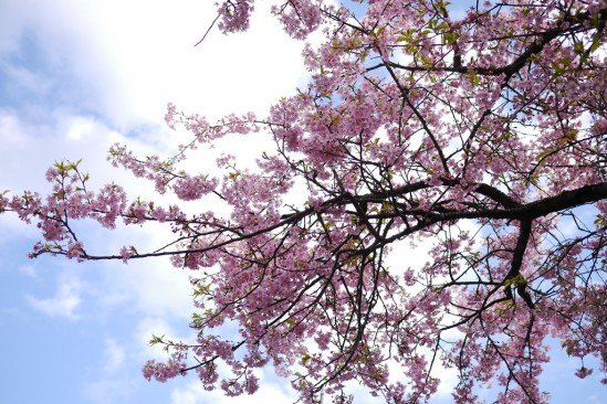 河津七滝・河津桜 (80)