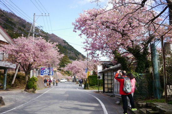 河津七滝・河津桜 (81)