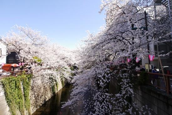 目黒川の桜 (17)