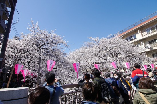目黒川の桜 (18)